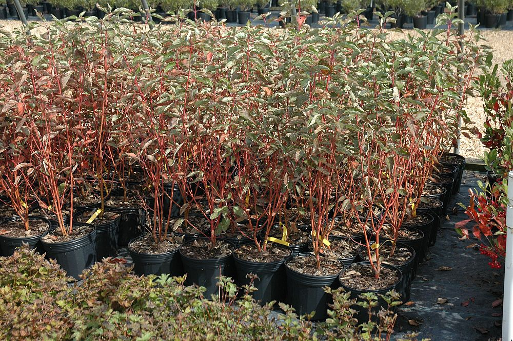 cornus-sericea-cardinal-red-osier-dogwood-red-twig-dogwood