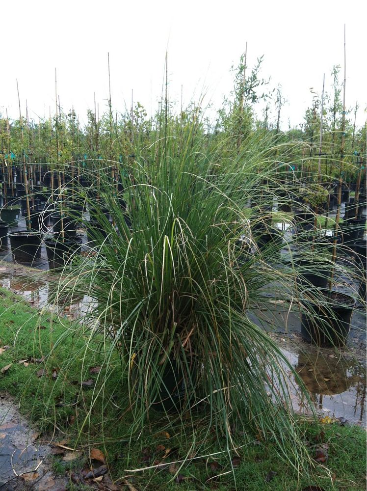 cortaderia-selloana-pampas-grass