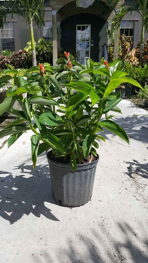 costus-woodsonii-red-button-ginger