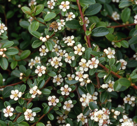 cotoneaster-dammeri-coral-beauty-bearberry-cotoneaster