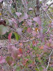 crataegus-phaenopyrum-washington-hawthorn
