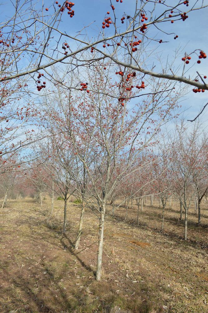 crataegus-viridis-winter-king-green-hawthorn