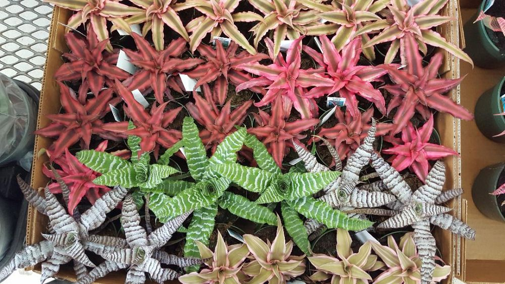 cryptanthus-earth-star-bromeliad