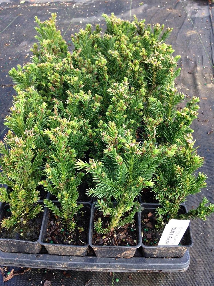 cryptomeria-japonica-black-dragon-japanese-cedar