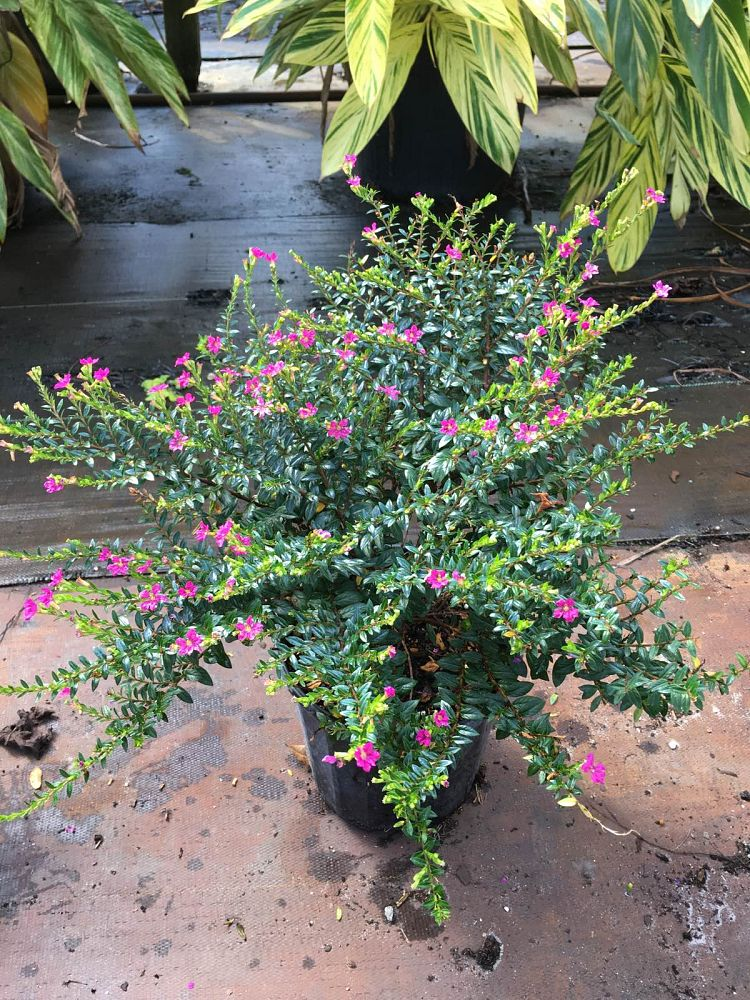 cuphea-hyssopifolia-mexican-heather