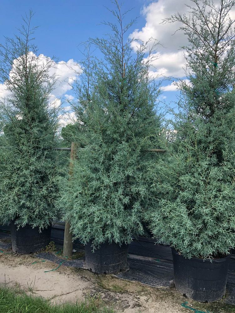cupressus-arizonica-glabra-arizona-blue-cypress-smooth-bark-arizona-cypress-callitropsis-glabra