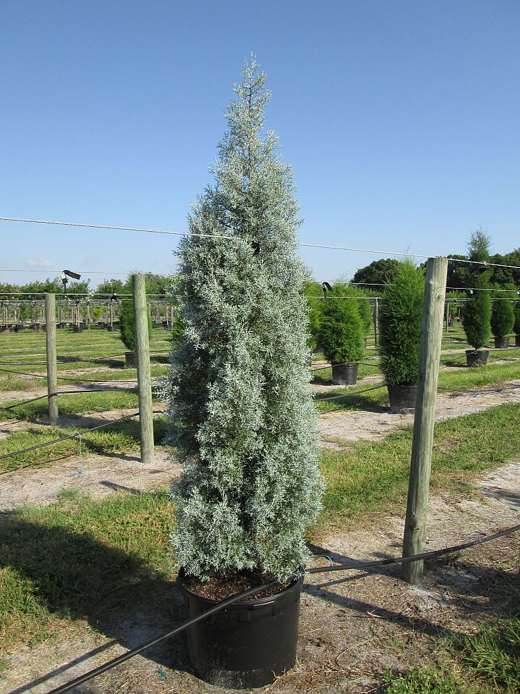 cupressus-arizonica-glabra-blue-ice-arizona-blue-cypress-smooth-bark-arizona-cypress-callitropsis-glabra