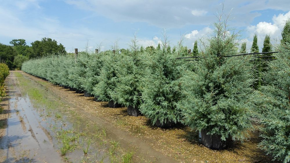 Cupressus Arizonica Glabra Carolina Shire Arizona Blue Cypress