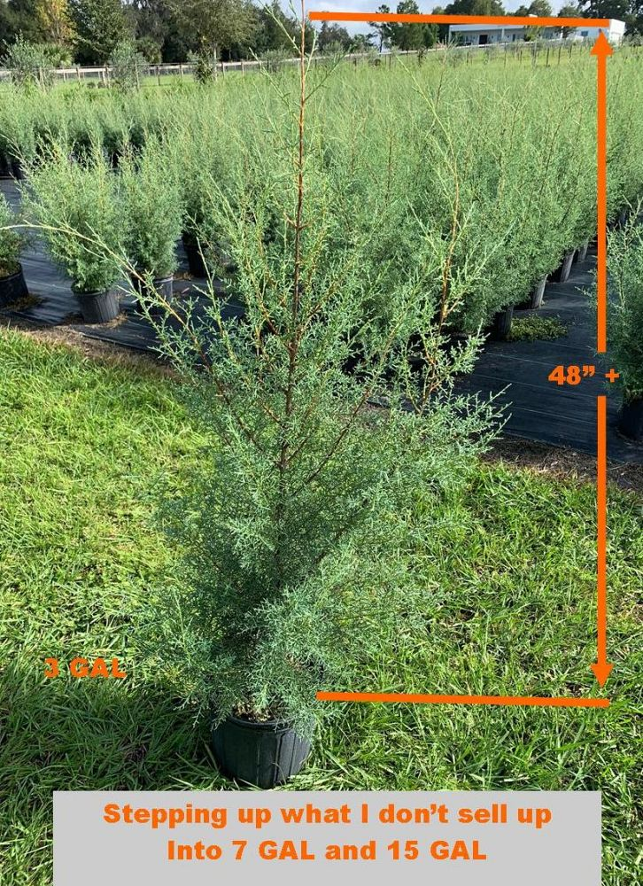 cupressus-arizonica-glabra-carolina-sapphire-arizona-blue-cypress-smooth-bark-arizona-cypress-callitropsis-glabra