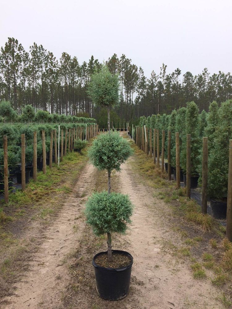 cupressus-arizonica-glabra-carolina-sapphire-topiary-3-ball-arizona-blue-cypress-smooth-bark-arizona-cypress-callitropsis-glabra