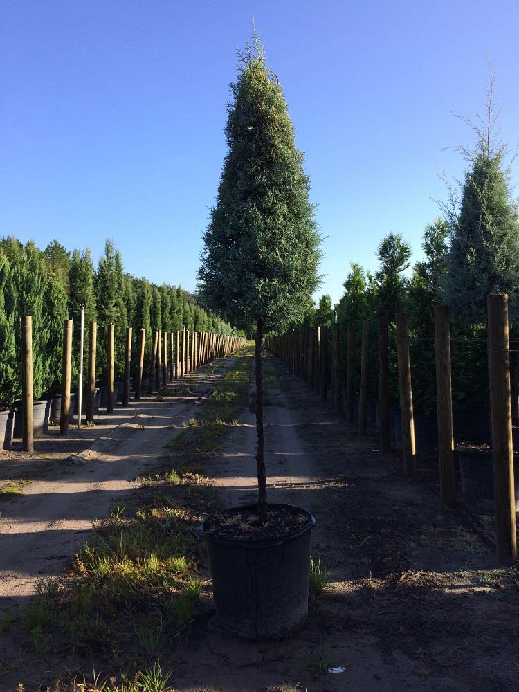 cupressus-arizonica-glabra-carolina-sapphire-topiary-arizona-blue-cypress-smooth-bark-arizona-cypress-callitropsis-glabra