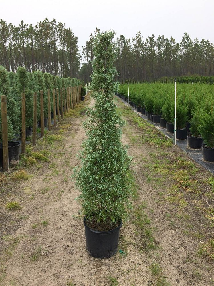 cupressus-arizonica-glabra-carolina-sapphire-topiary-cone-arizona-blue-cypress-smooth-bark-arizona-cypress-callitropsis-glabra