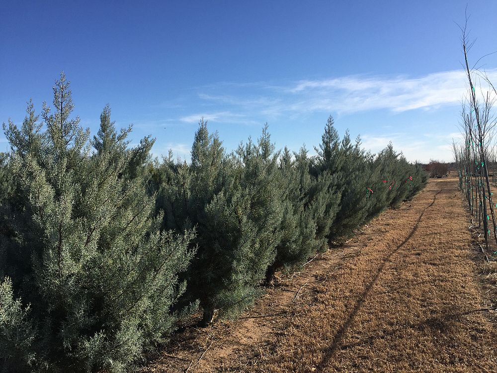 cupressus-arizonica-glabra-silver-smoke-arizona-blue-cypress-smooth-bark-arizona-cypress-callitropsis-glabra