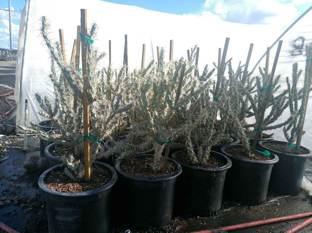 cylindropuntia-bigelovii-cholla-guera-golden-spined-jumping-cholla-teddy-bear-cholla