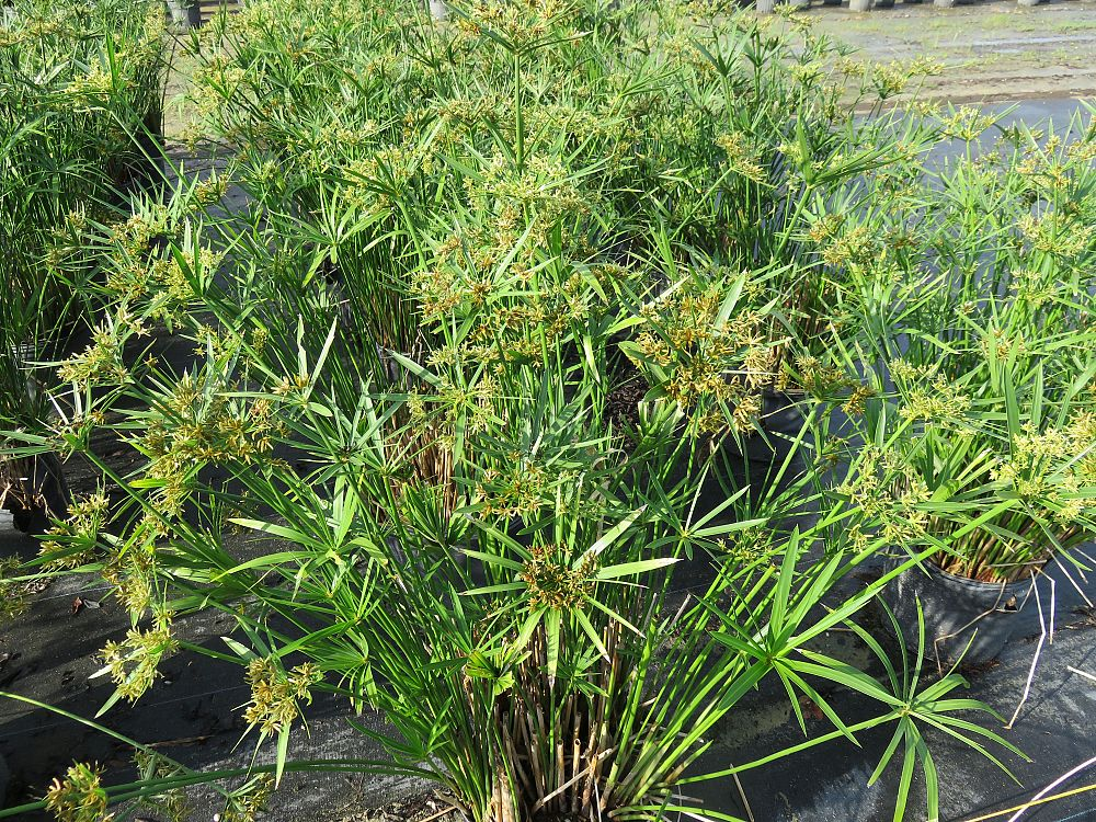 cyperus-alternifolius-umbrella-sedge