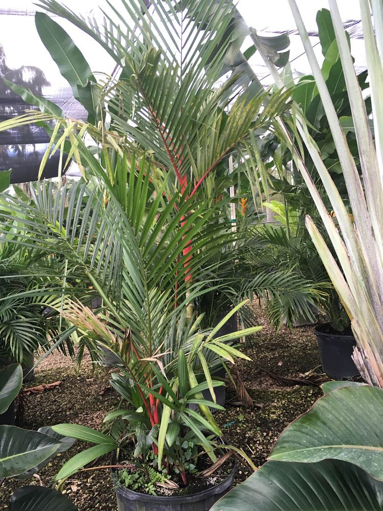 cyrtostachys-renda-cyrtostachys-lakka-lipstick-palm-red-sealing-wax-palm