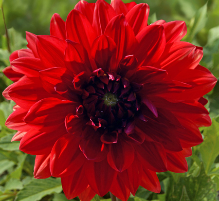 dahlia-garden-wonder-decorative-dahlia