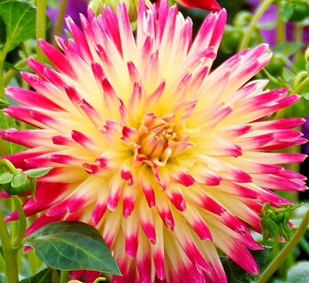 dahlia-tahiti-sunrise-decorative-dahlia
