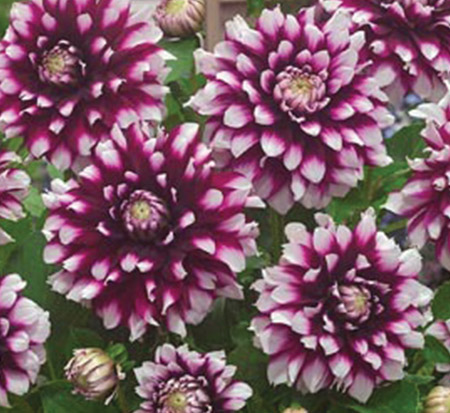 dahlia-verdi-glory-decorative-dahlia