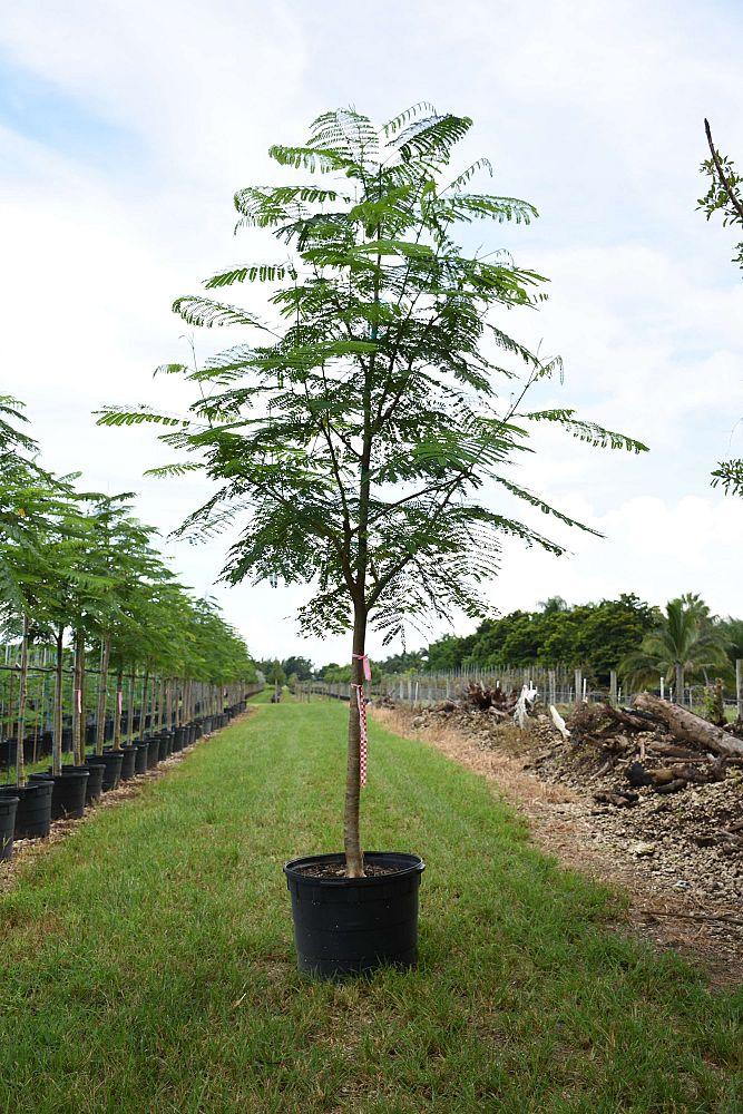 Satin Leaf Nursery Plantant Com