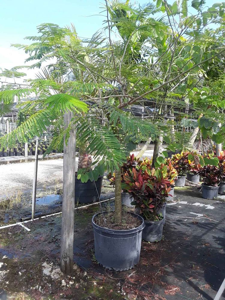 delonix-regia-royal-poinciana-flamboyant-tree-flame-tree