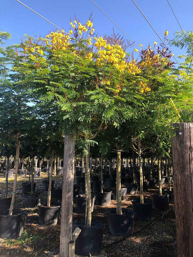 delonix-regia-yellow-royal-poinciana-yellow