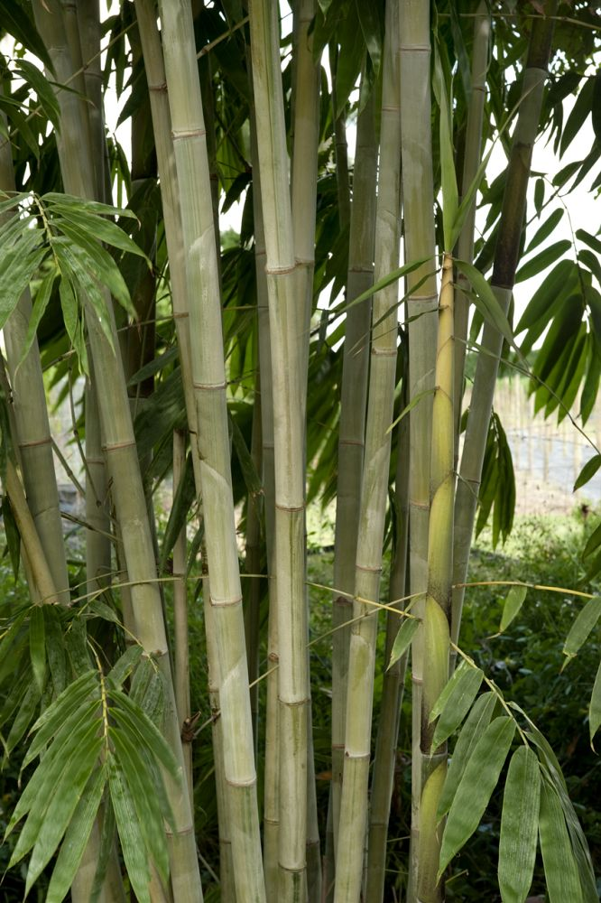 dendrocalamus-minor-amoenus-angel-mist-bamboo