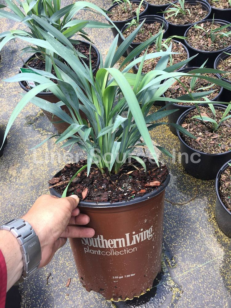 dianella-dp401-clarity-blue-flax-lily