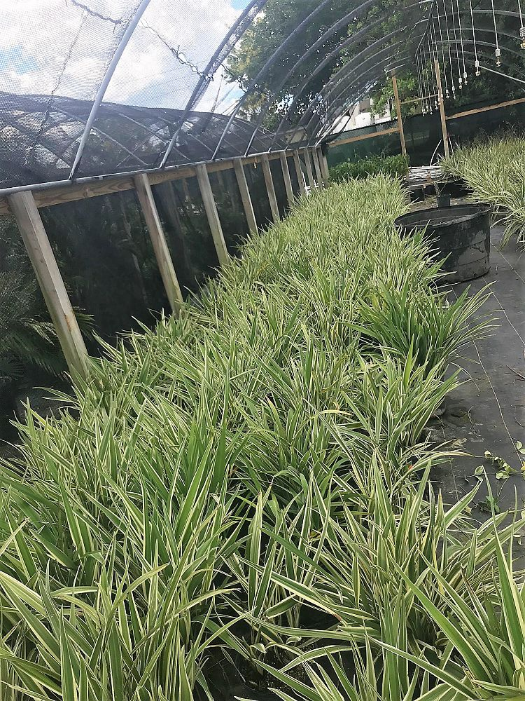 dianella-spp-flax-lily