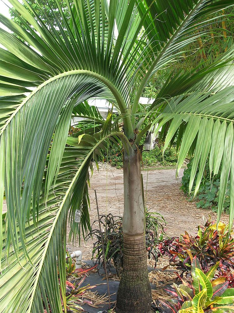 dictyosperma-album-princess-palm-hurricane-palm-dictyosperma-album-rubrum