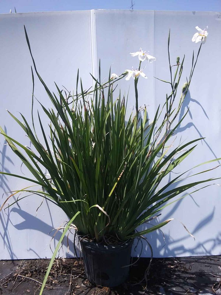 dietes-iridioides-african-iris-fortnight-lily
