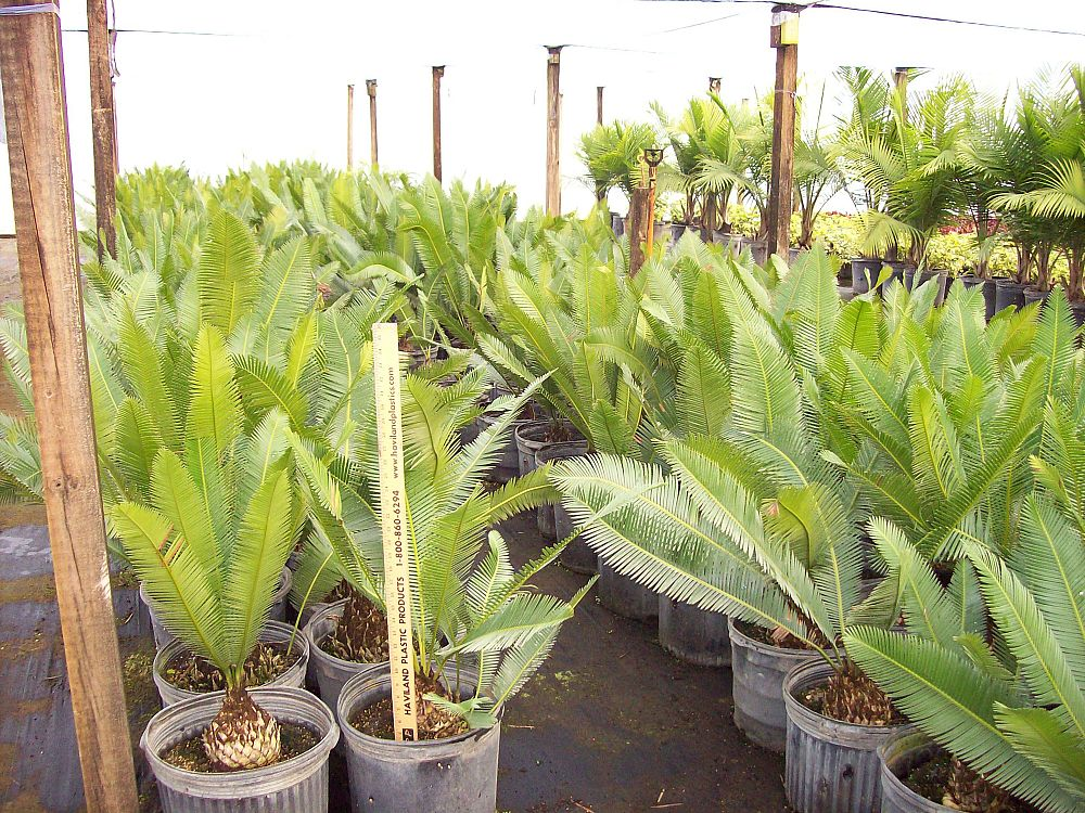 dioon-edule-mexican-fern-palm-cycad