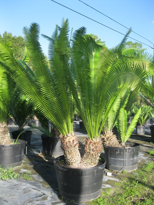 dioon-spinulosum-mexican-cycad