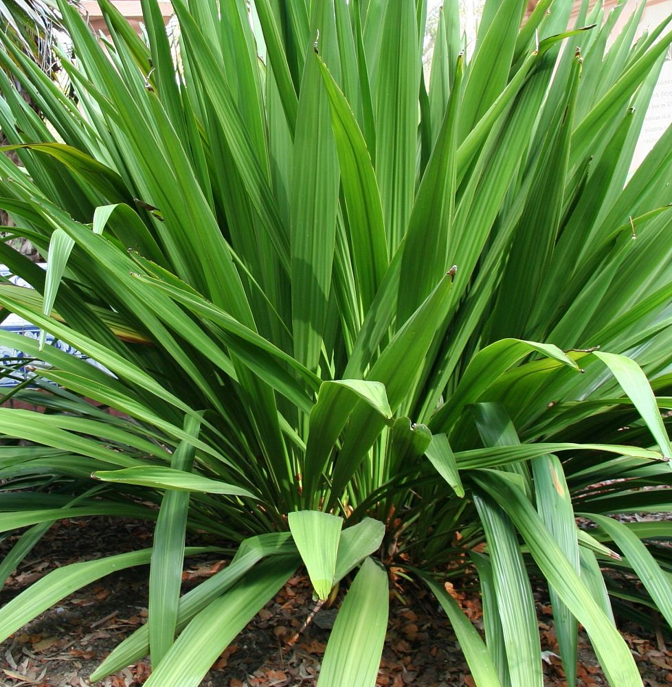 doryanthes-palmeri-spear-lily