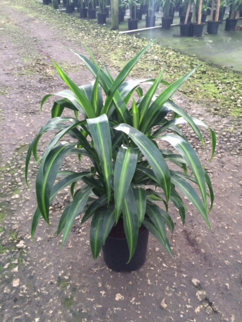 dracaena-deremensis-hawaiian-sunshine-striped-dracaena
