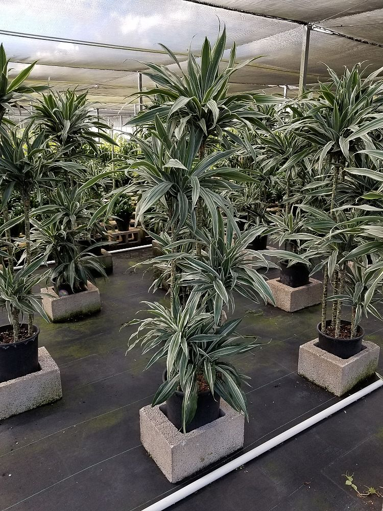 dracaena-deremensis-warneckii-chinese-moneytree-dragon-tree-striped-dracaena