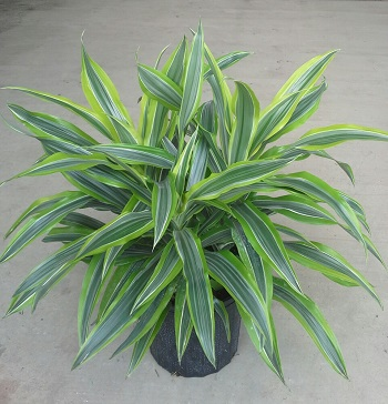 dracaena-fragrans-gold-star-chinese-moneytree-dragon-tree-dracaena-deremensis-warneckii-gold-star