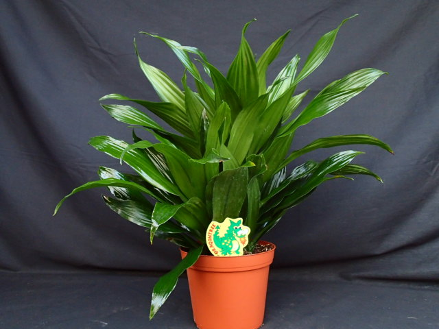 dracaena-fragrans-green-jewel-chinese-moneytree-cornplant-dracaena-dragon-tree
