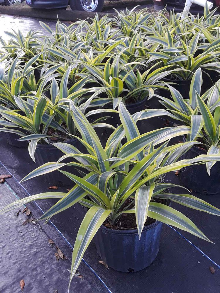 dracaena-fragrans-lemon-lime-chinese-moneytree-dragon-tree-dracaena-deremensis-lemon-lime