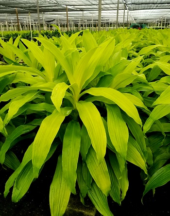 dracaena-fragrans-limelight-chinese-money-tree-dragon-tree