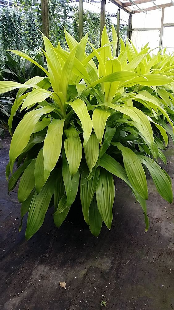 dracaena-fragrans-limelight-chinese-moneytree-cornplant-dracaena-dragon-tree