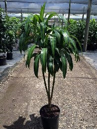 dracaena-hawaiian-sunshine