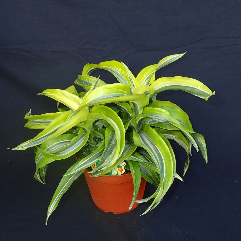 dracaena-lemon-surprise