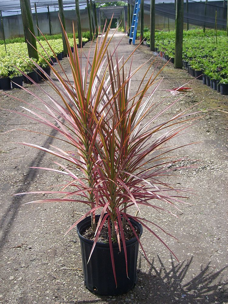Dracaena marginata colorama dracaena colorama
