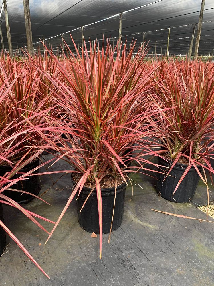 dracaena-marginata-colorama-madagascar-dragon-tree