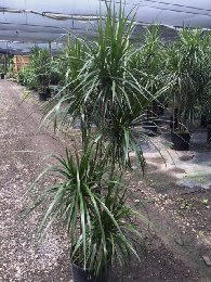 dracaena-marginata-madagascar-dragon-tree