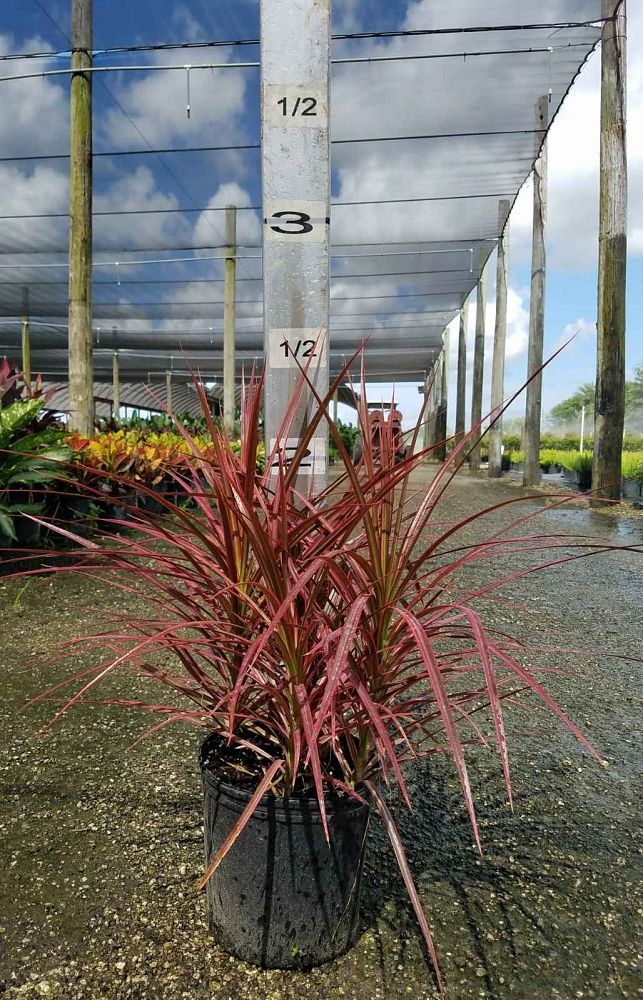 dracaena-marginata-magenta-madagascar-dragon-tree