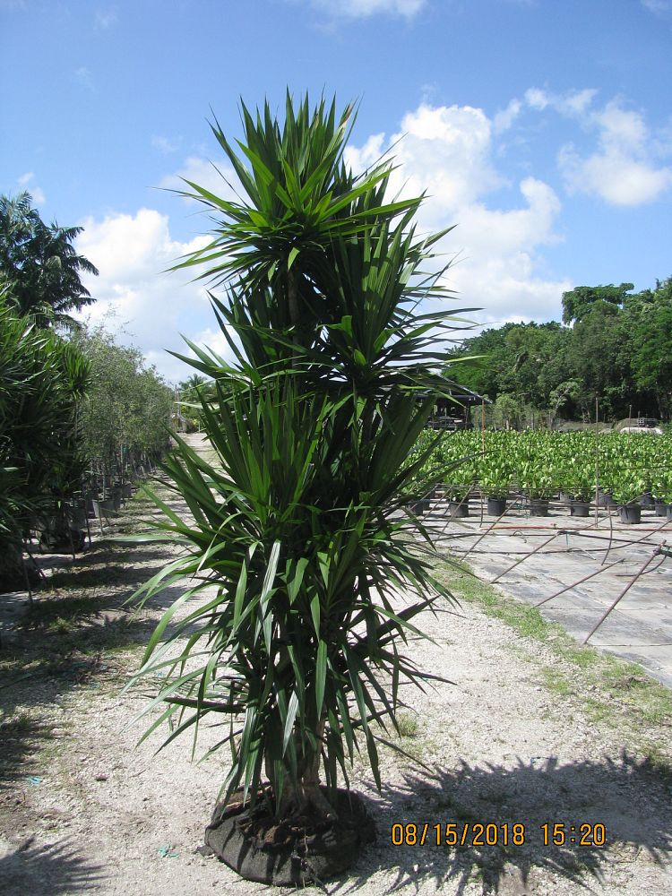 dracaena-marginata-tarzan-madagascar-dragon-tree