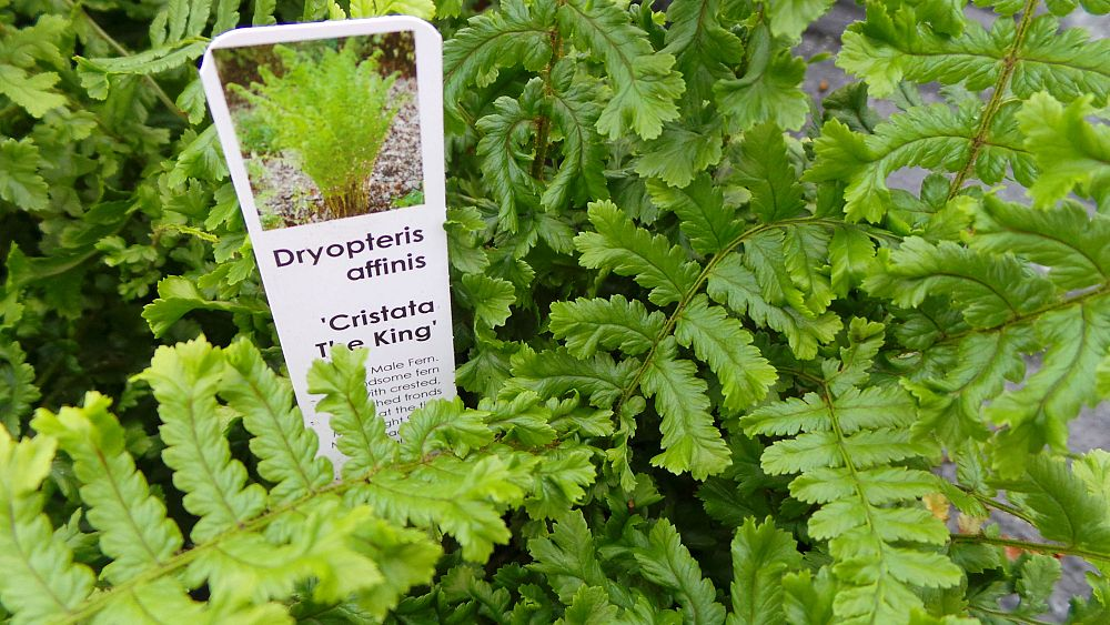 dryopteris-affinis-cristata-scaly-golden-male-fern