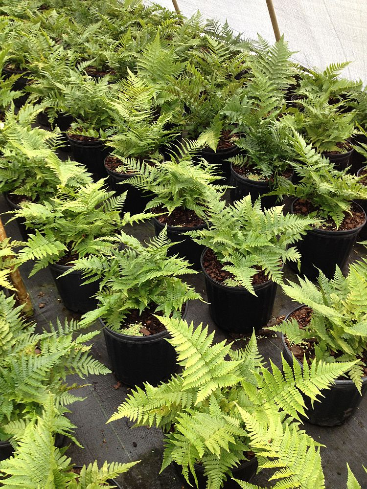 dryopteris-erythrosora-autumn-fern-japanese-wood-fern